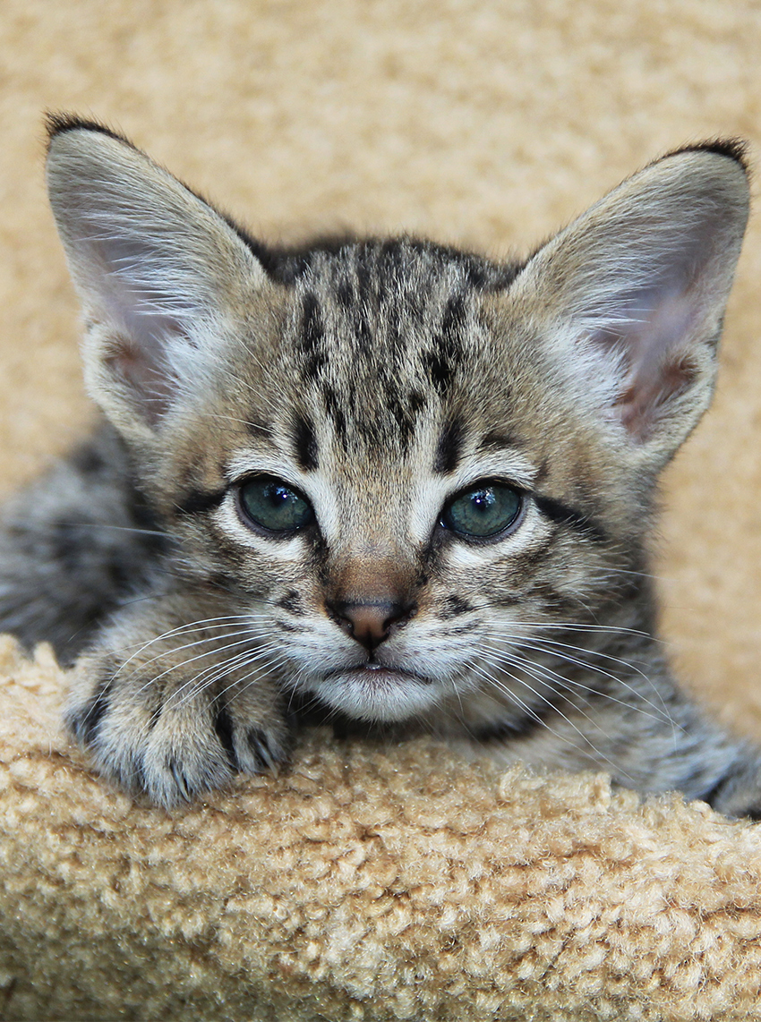 Savannah Cat kittens have very large ears and expressive faces.
