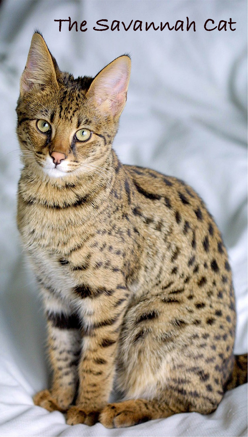 The Savannah cat is an exotic cat breed