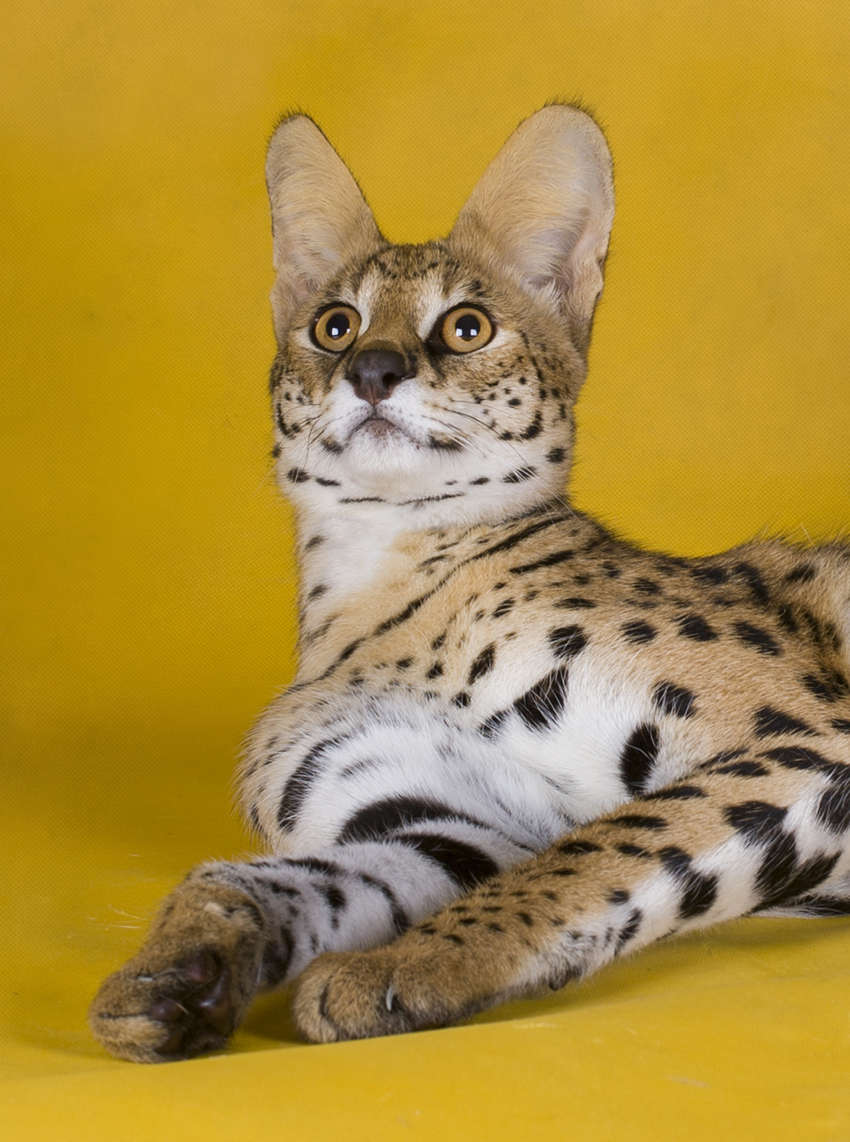 Many Savannah Cat owners choose to keep their pets indoors.