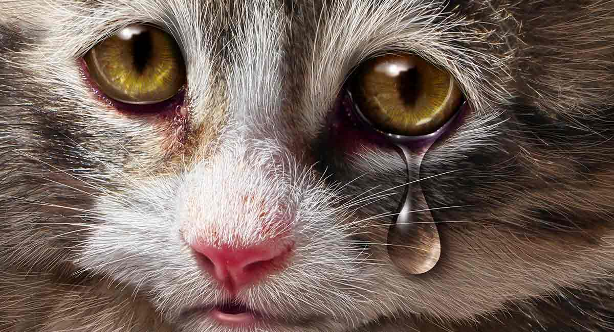 Do Cats Cry