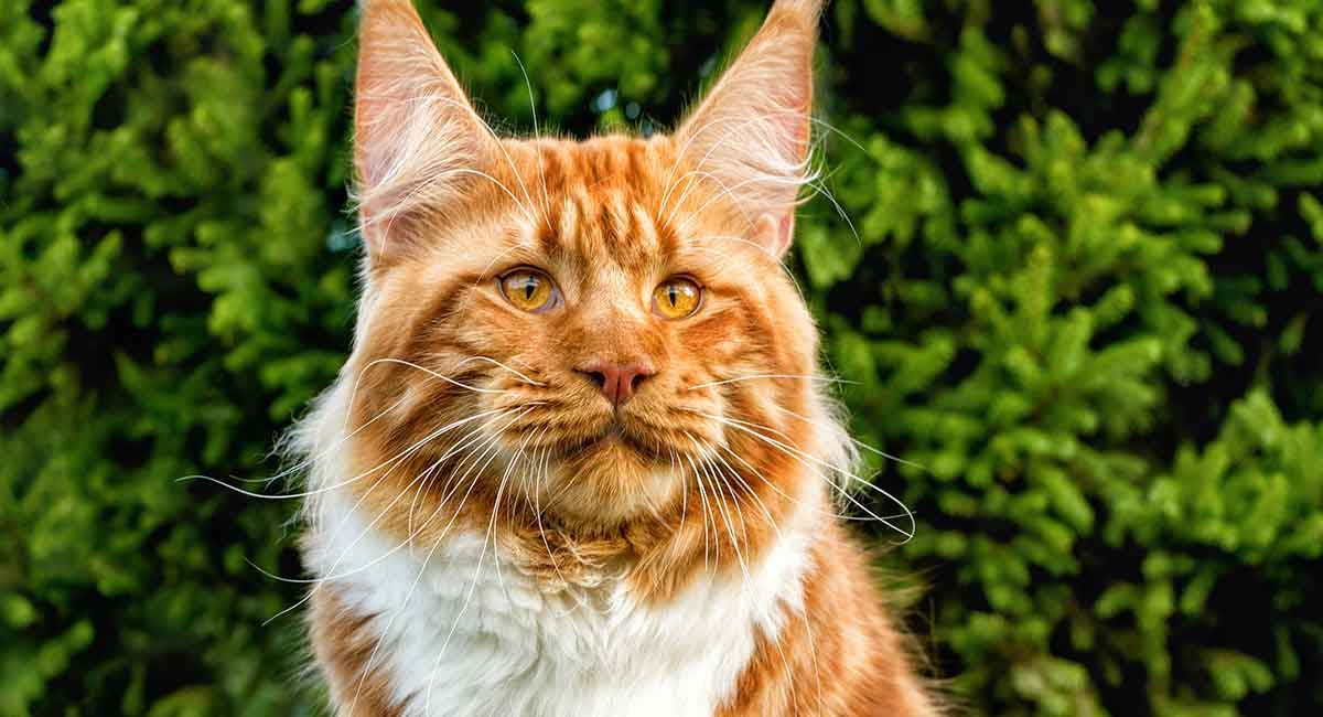 Large cat breeds