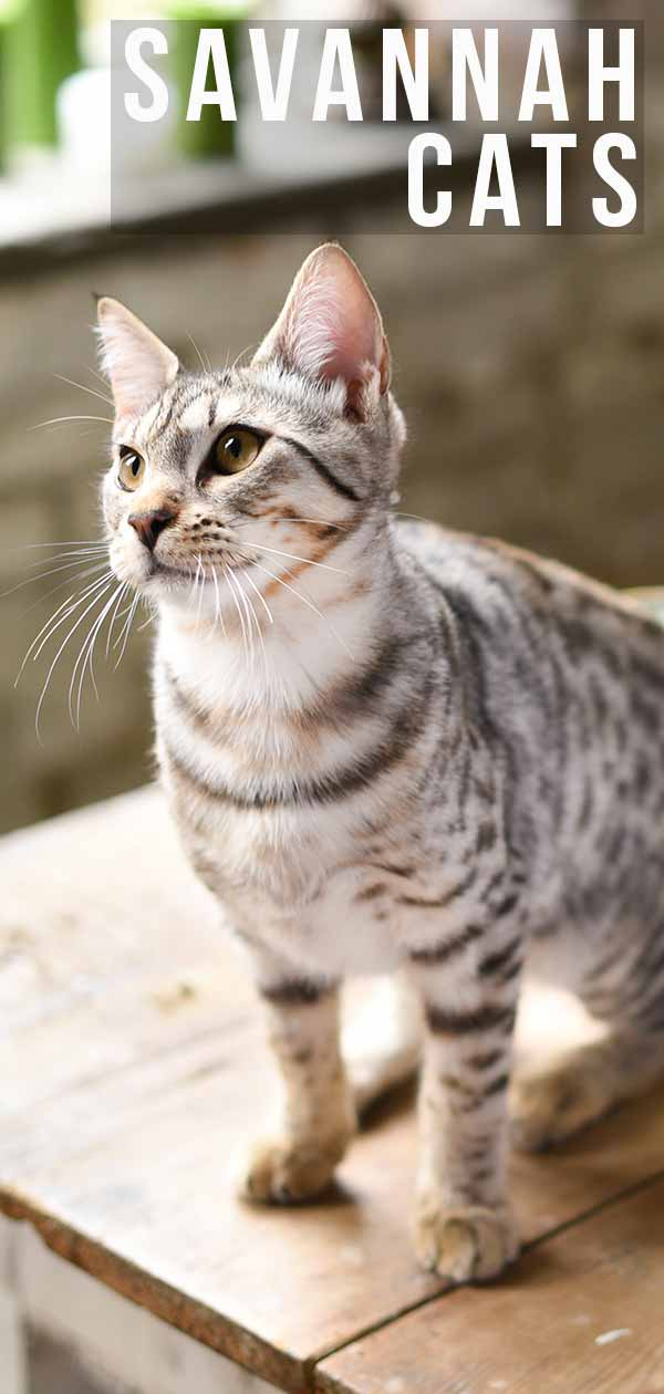 Savannah Cat Information: A Complete Guide to a Hybrid Breed