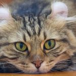 Cats for Kids: Choosing the best cat breeds for children