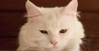 cat dementia and your senile cat