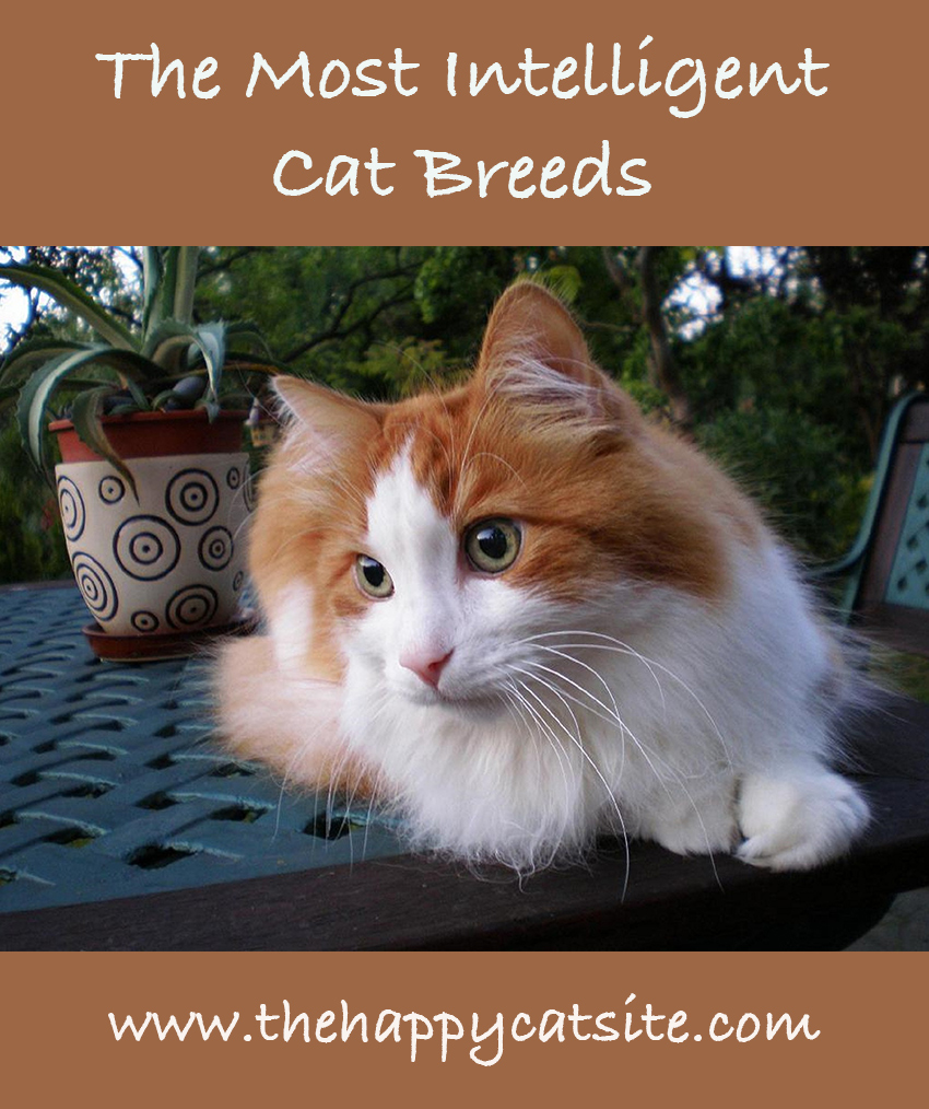 Most Intelligent Cat Breeds - From Cat IQ to Knowing Your Clever Cats