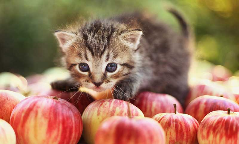 Kitten on apples