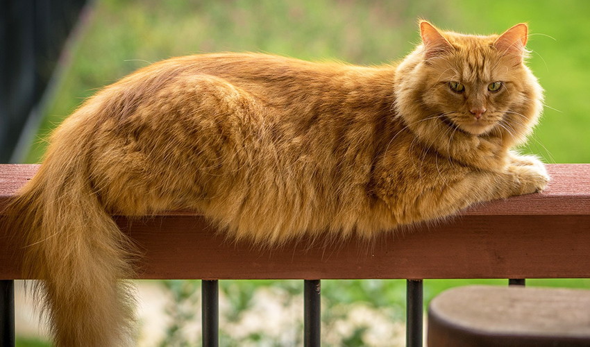 Large Cat Breeds - The Top 5 biggest house cats