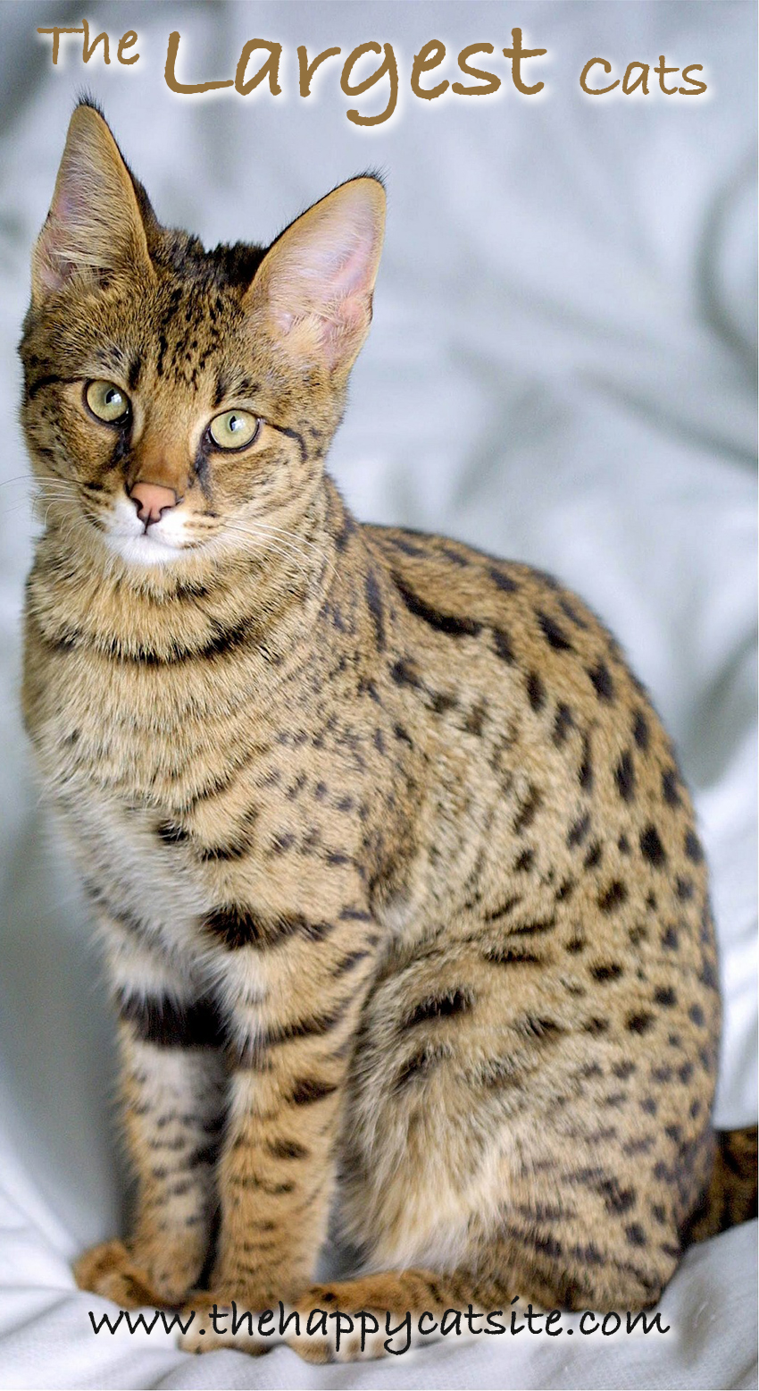 Savannah Cats are one of the largest domestic cats you can buy as a pet