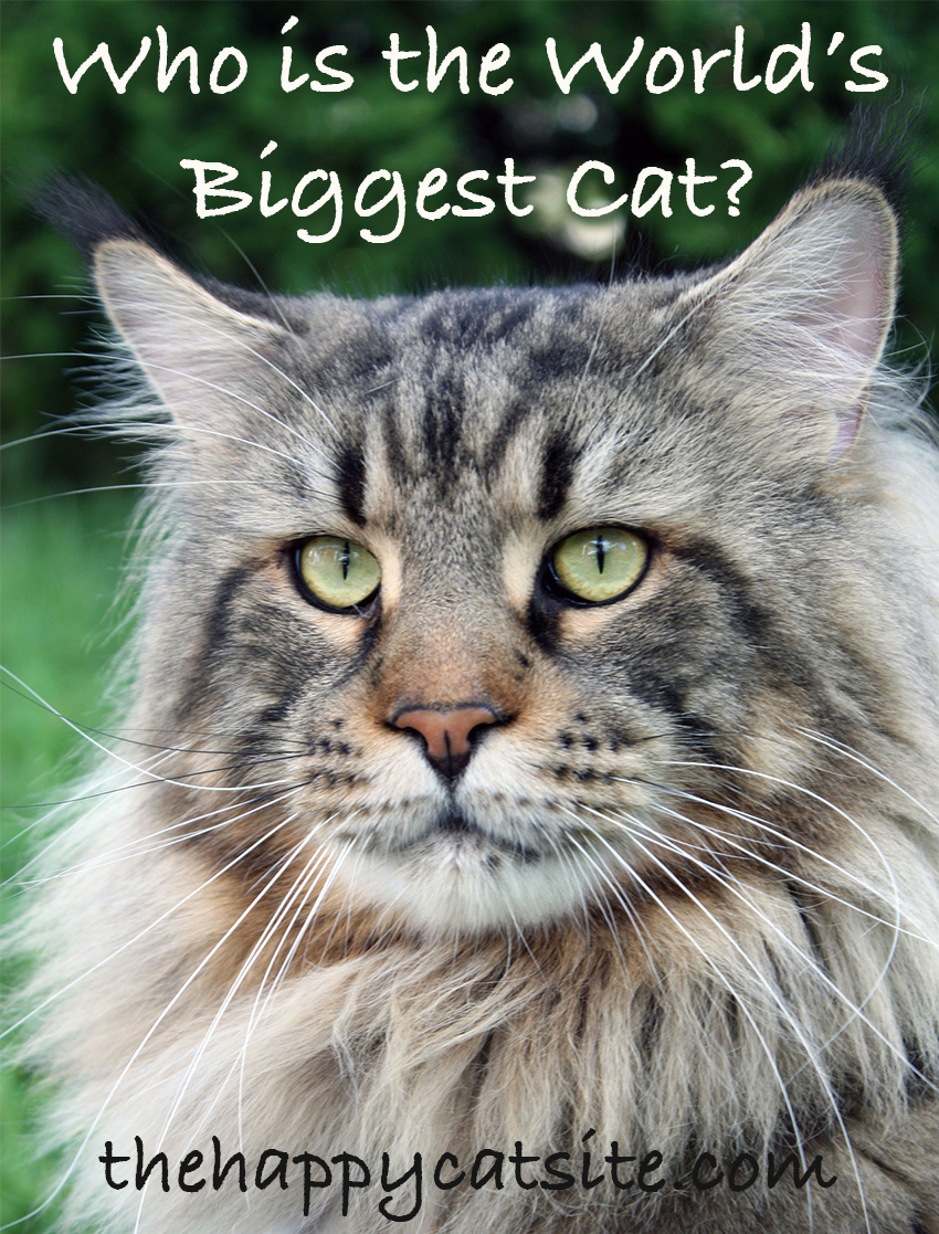 Maine Coons are one of the biggest domestic cat breeds
