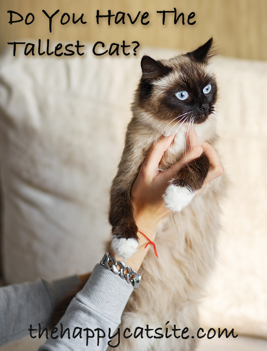 Tall house cat breeds