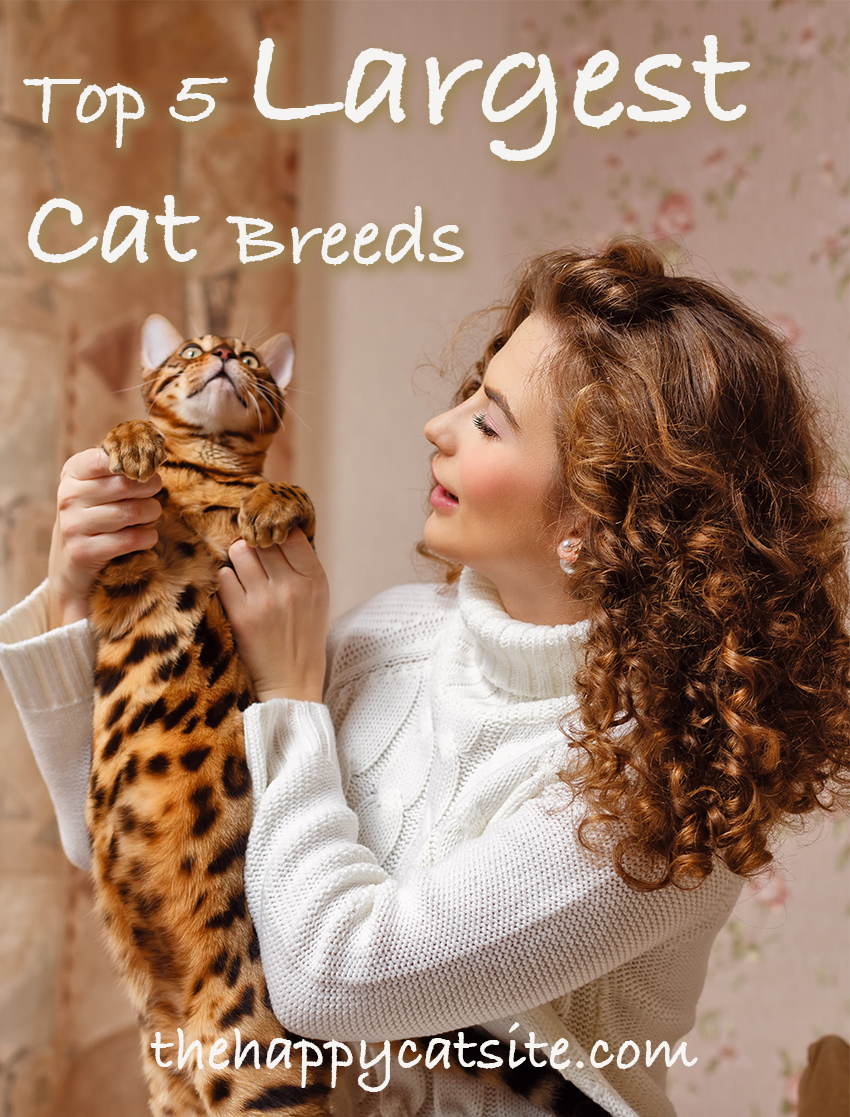 Top 5 Large Cat Breeds that you might like to have as a pet
