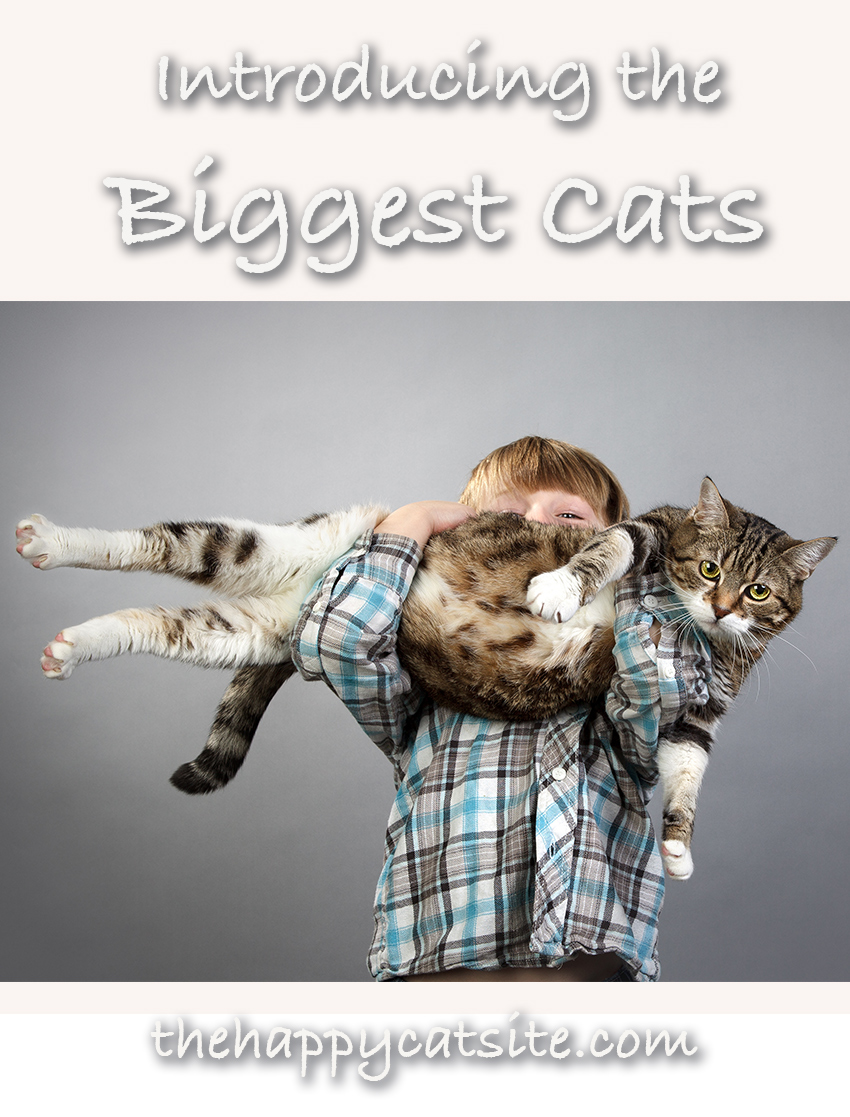 Do you have a massive cat? We take a look at the biggest cats and what huge cat breed you might like to adopt
