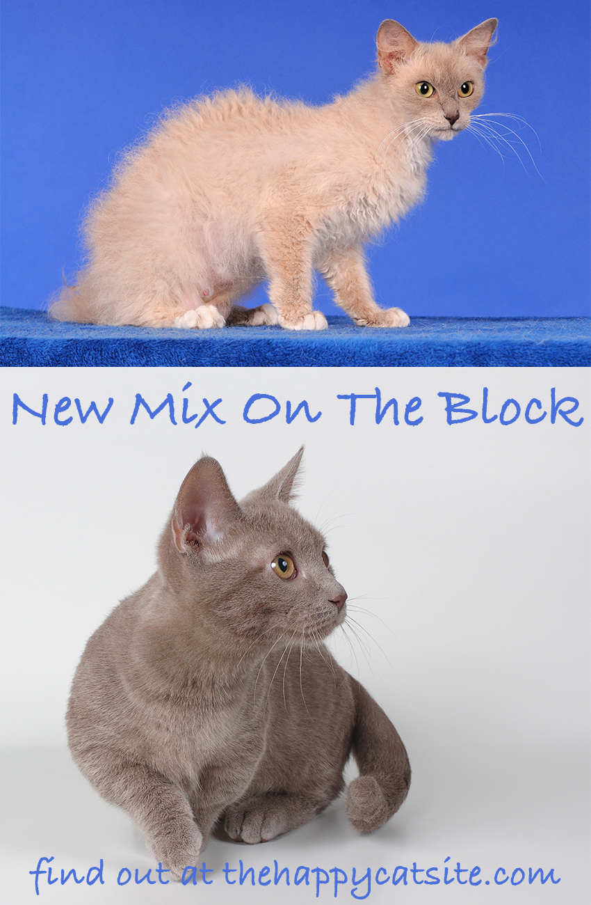 The Skookum Cat breed is being created by mixing a LaPerm with a Munchkin Cat