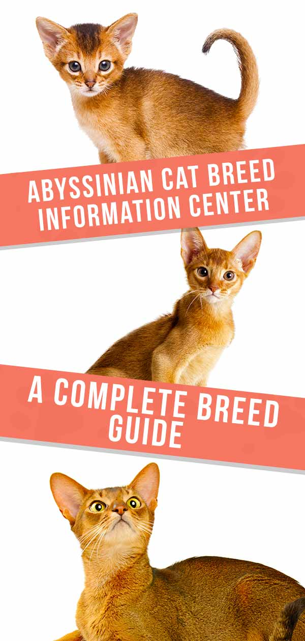 Abyssinian Cat Breed Information Center - A Complete Breed Guide