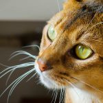 Abyssinian Cat – Personality, Care and Health