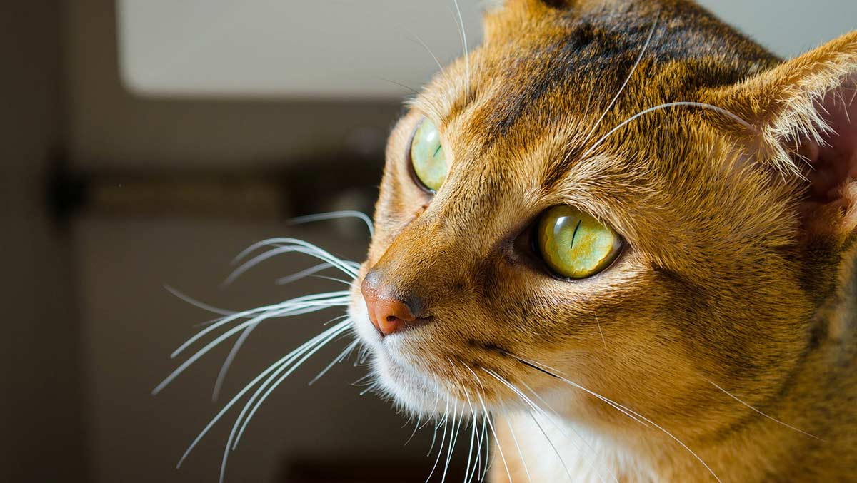 Abyssinian cat personality, care and health