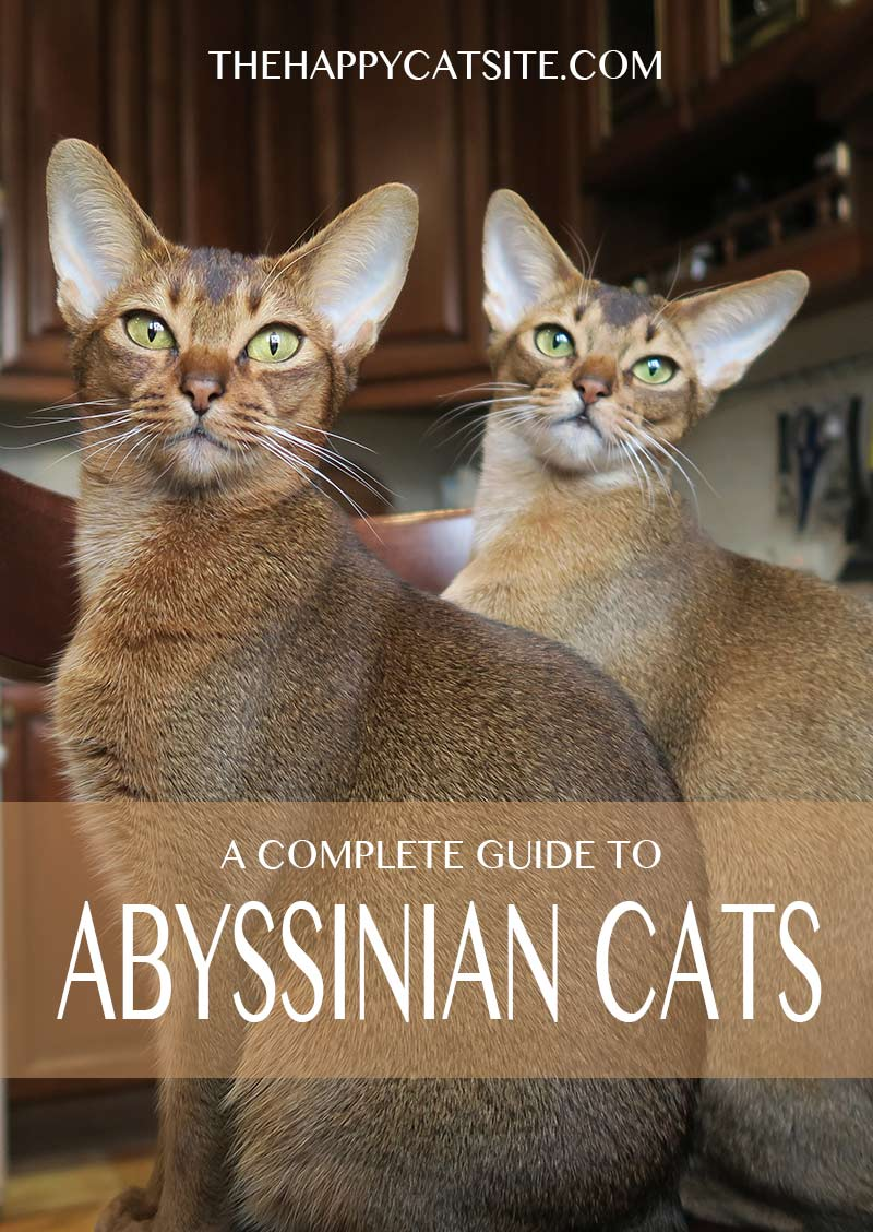 Abyssinian cat personality, health and care are all discussed in this guide