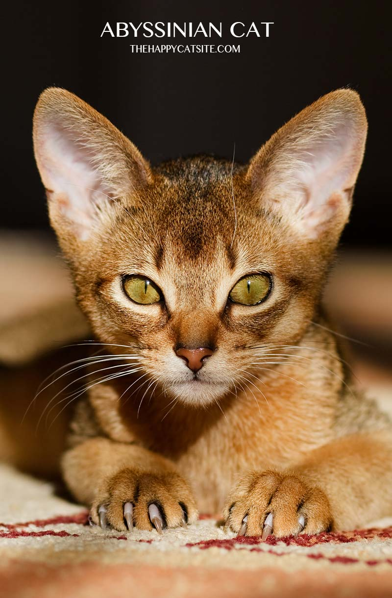 Abyssinian Cats are an exotic cat breed