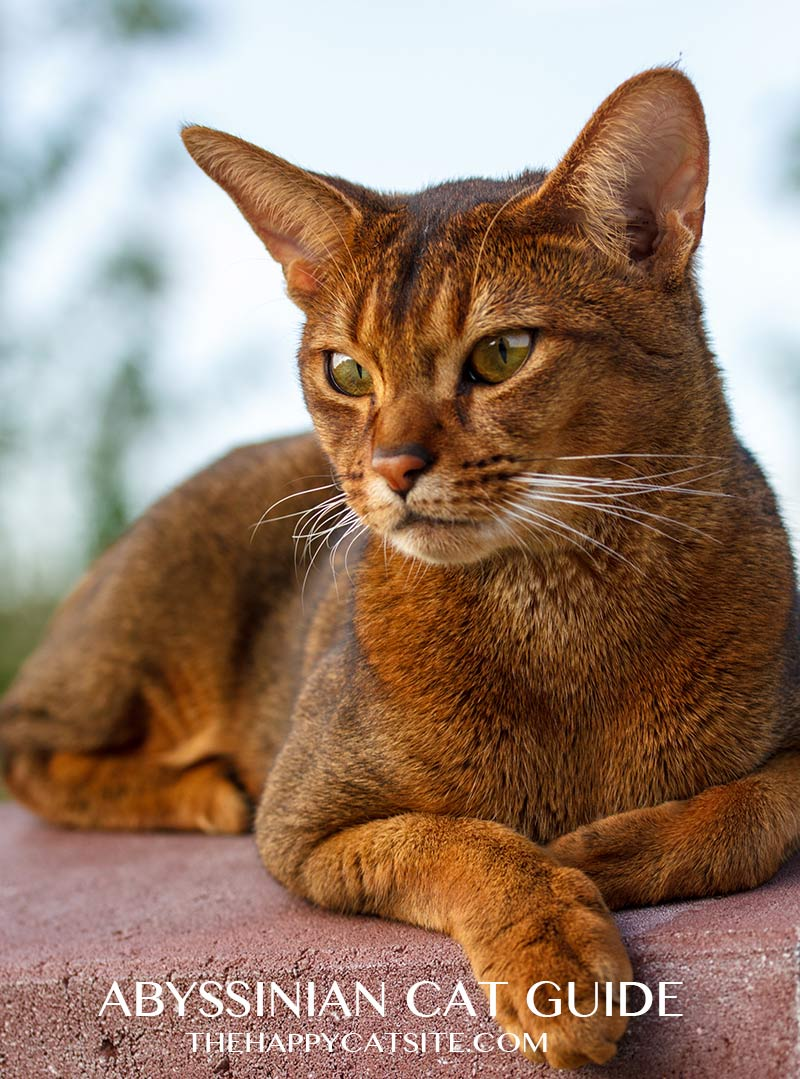 Abyssinian cat personality means that they like to sit up high and watch the world go by