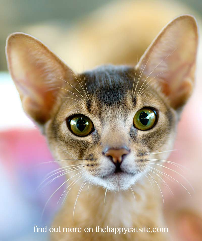 The Abyssinian cat personality is curious and sociable