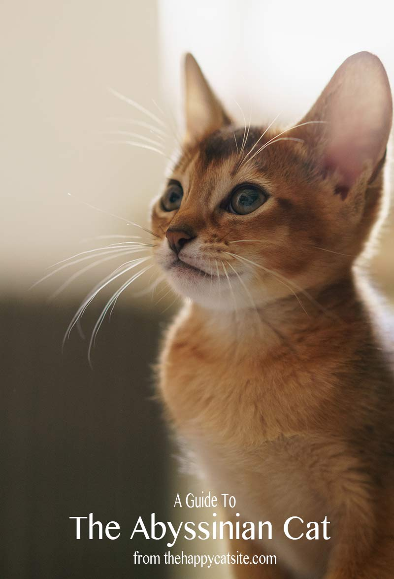 Abyssinian kittens and cats are breathtakingly beautiful