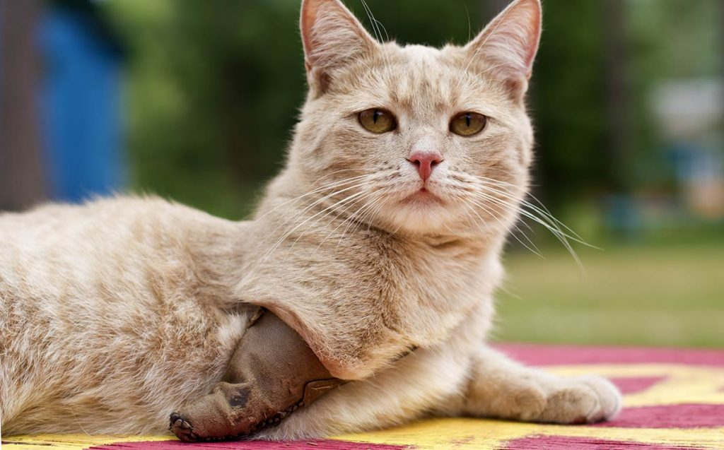 Caring For Your Three Legged Cat By The Happy Cat Site