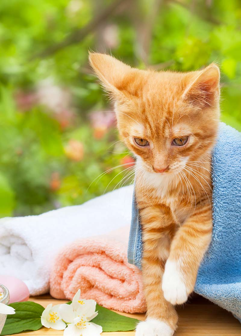 How to give a cat a bath - preparation, equipment and instructions