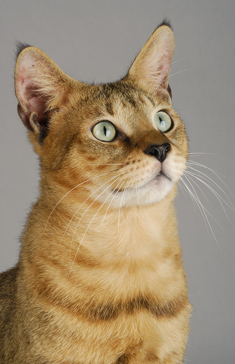 The Chausie is an exotic cat breed