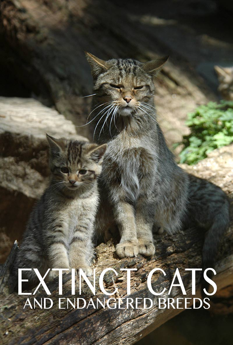 Extinct cat - discover the cats that history left behind