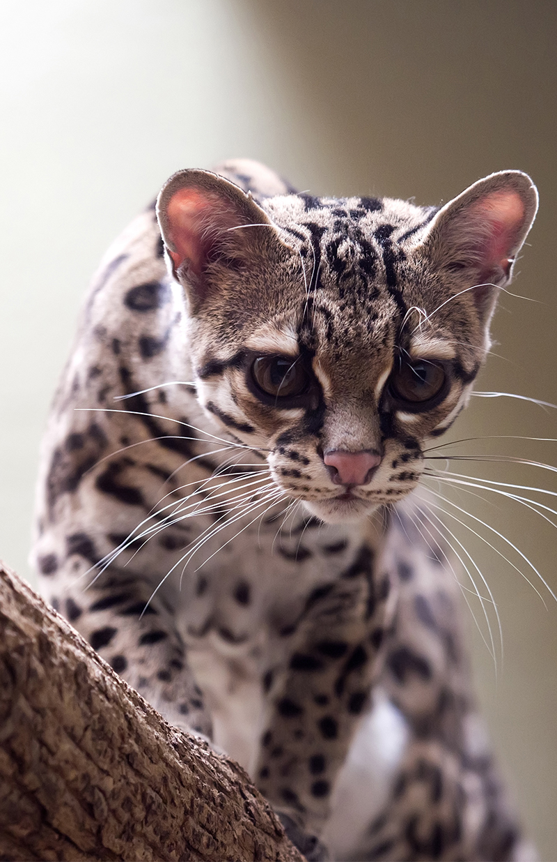 The Margay is an exotic cat breed