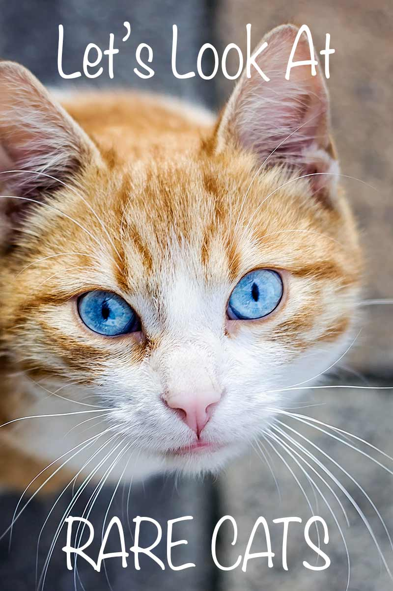 Rare cat breeds - a look at some very interesting cats