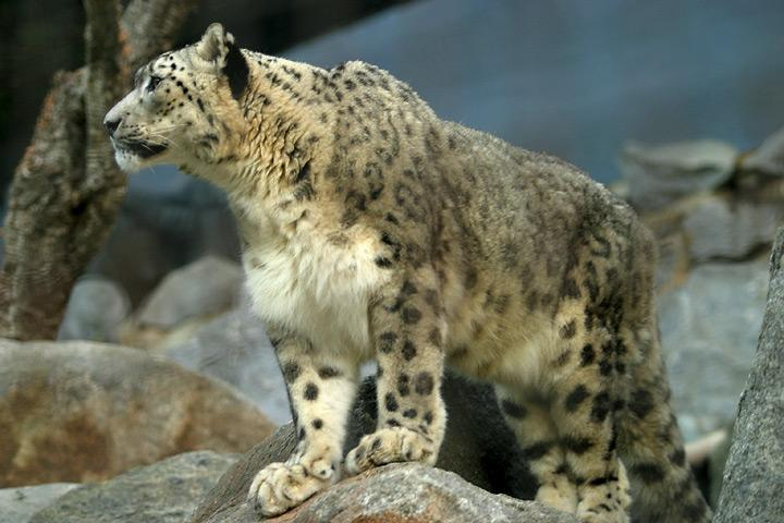 The snow leopard is a threatened species
