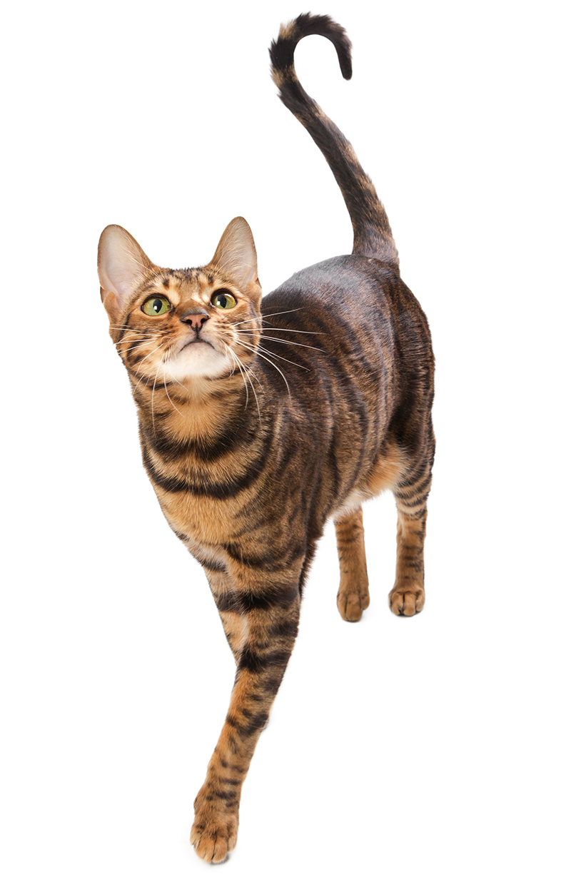 The Toyger is an exotic cat breed