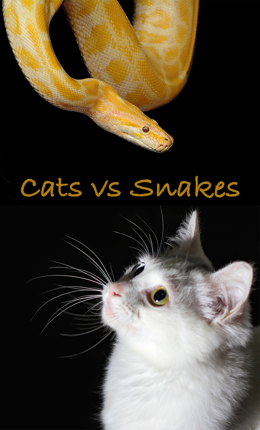 Cats and Snakes - Are snakes afraid of cats? Are cats afraid of snakes? What should you do if you suspect your cat has been bitten by a snake? Let's find out!