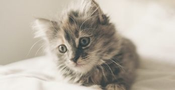 American Long Hair Kitten