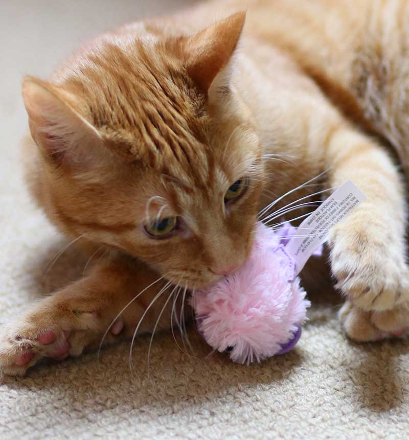 will a neutered cat spray