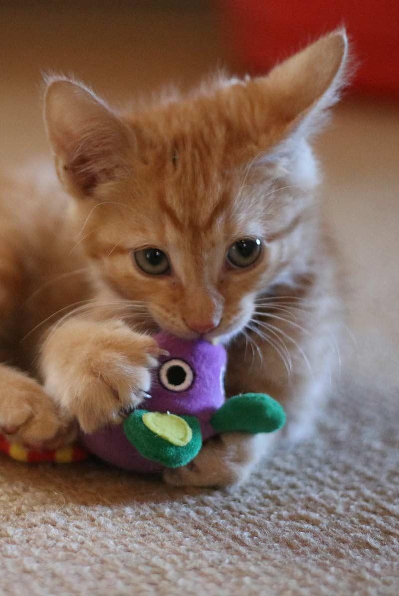 kitten chew toy