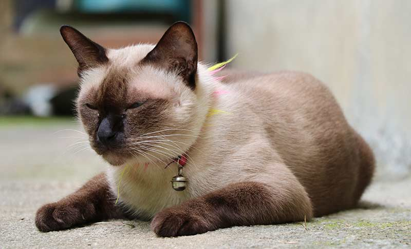 sleepy siamese cat