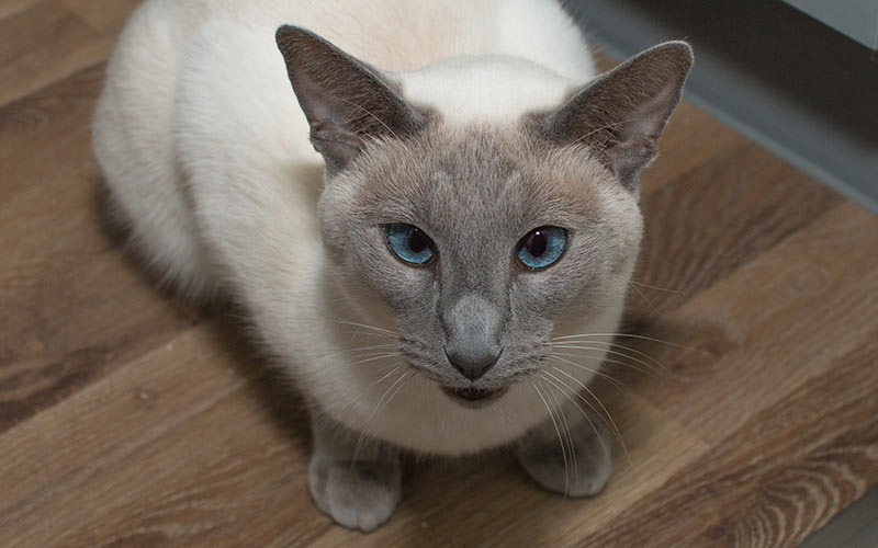 200 Best Siamese Cat Names