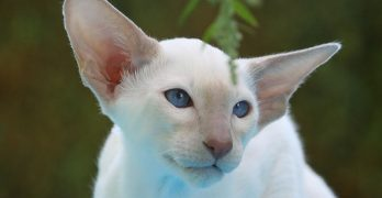 Siamese Cat Names – 200 Best Names For Siamese Cats