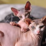 Sphynx Cats – Life With A Hairless Cat Breed