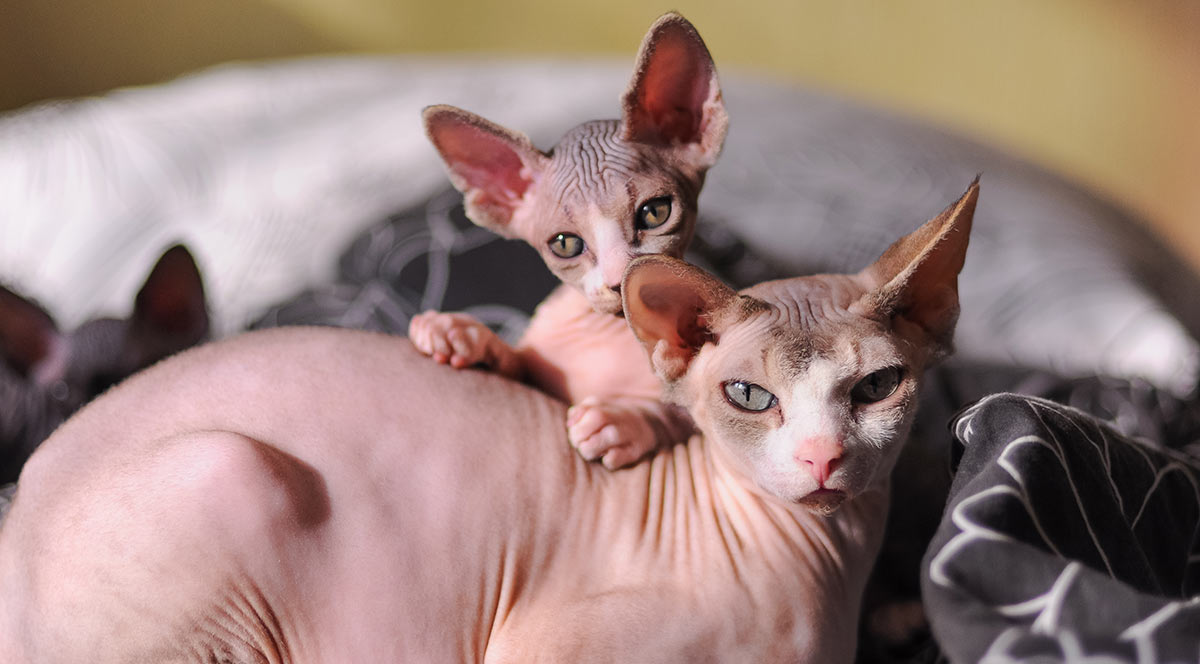 Sphynx cats: kitten with mother