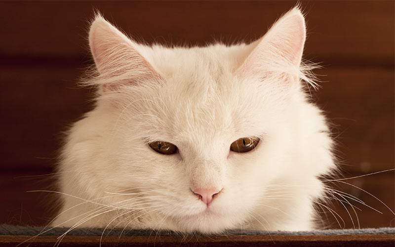 Names For White Cats - Our Top 100 White Cat Names