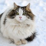 Long Haired Cat Breeds