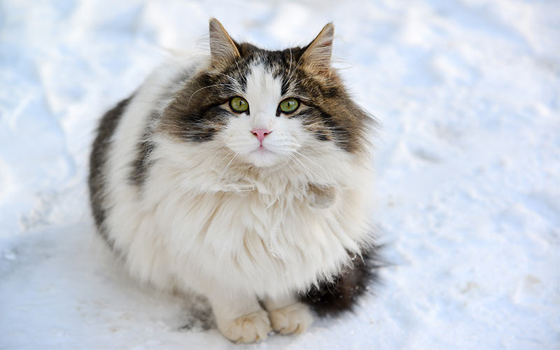 Long Hair Cat Breeds List