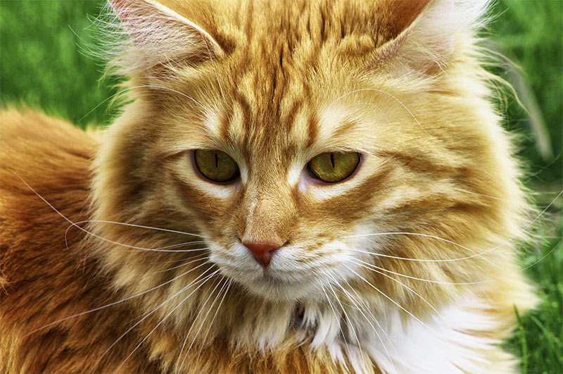 Long Haired Cat Breeds Different Breeds Care And Grooming