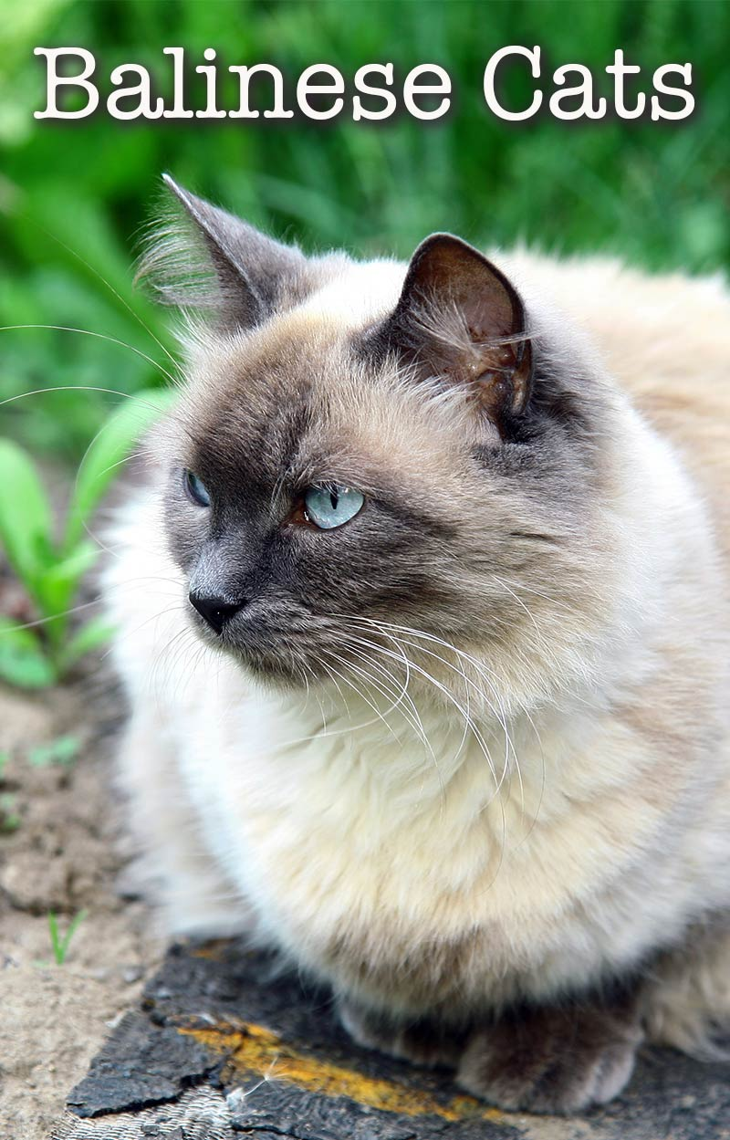 A Complete Guide To Balinese Cats - The Long Haired Siamese Relative