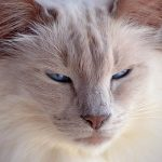 Balinese Cats – A Complete Guide