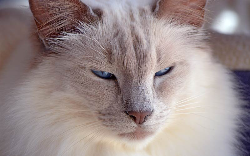 A Complete Guide To Balinese Cats The Long Haired Siamese Relative