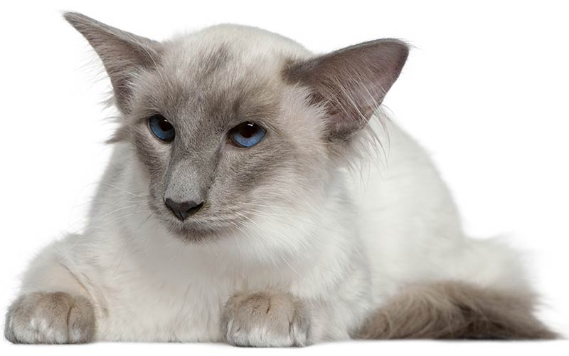 A Complete Guide To Balinese Cats The Long Haired Siamese
